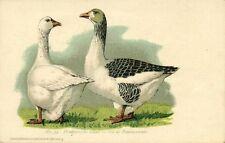 Goose Geese, Pommersche Gans, Oie de Pommeranie (1910s) No. 34