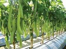 New 270 SEEDS OF  ASIAN VEGETABLE GREEN LONG THAI EGGPLANT SOLANUM