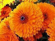 Calendula Pot Marigold (Calendula Officinalis) - Geisha Girl - 50 Seeds