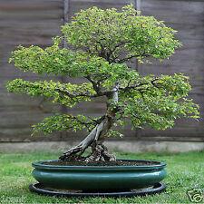 100 seeds of Elm tree bonsai wood Ulmus parvifolia Lacebark