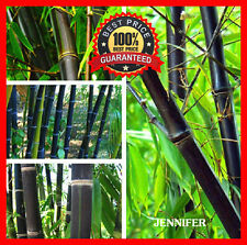 200+ Fresh & RARE Black Bamboo Seeds With Instructions - HARDY (Free Shipping)