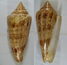 "Conus gloriamaris, 139.2 mm, F+, ""VERY LARGE"""