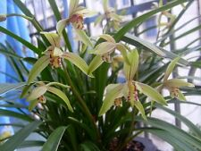 4 growths of chinese-orchid-cymbidium-ensifolium  小桃红