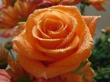 Orange Dusk Bunty Rose Plant - Orange Rose Grafted Plant - 1 Plant Without Pot