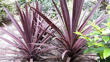 Cordyline australis purple 10 Seeds