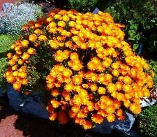 Lampranthus Aureus orange ice plant living stone succulent mesembs seed 20 SEEDS