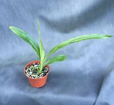 """Gastrophaius Micro Burst 'George's Gold'  Yellow Nun's Orchid, Shipped in 3"""" Pot"""