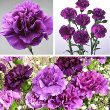 350Pcs Magenta Carnation Dianthus Caryophyllus Flower Seeds Garden Home Decor