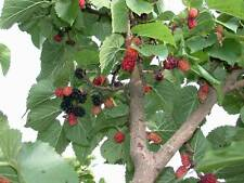 Black Mulberry - Morus Nigra - 50 seeds - Tree - Berries - Fruit - Hedging