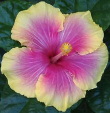 "FASCINATION Tropical Hibiscus -- Plant in 4.5"" pot"
