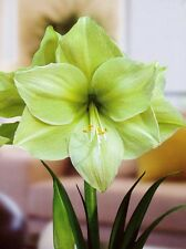 Jumbo Amaryllis Fantasy  30-32 centimeters large-Perfect Christmas Gift