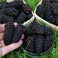 100 Jumbo Thornless Blackberry Seeds Stunning Low-Budget fruit Gardens