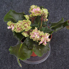 african violet Harmony's Miss Piggy plant in 4 inch pot