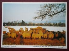 POSTCARD BUCKINGHAMSHIRE WENDOVER - WINTER FEED FOR THE SHEEP