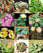 ALOINOPSIS MIX, succulent mesembs mixed living stones rocks plant seed  20 SEEDS