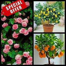 Hybrid seeds - climbing pink rose, lemon, orange bonsai plant seed 10 seeds each