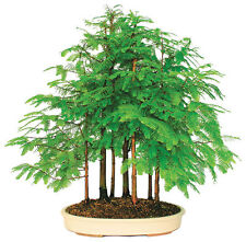 50 seeds of mini Dawn Redwood Forest bonsai tree Metasequoia glyptostroboides
