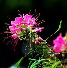 Spiny Spiderflower Seed 50 Seeds Cleome Spinosa Flower Garden Seed A032 For Gift