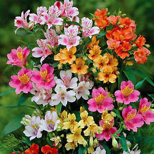 20 PERUVIAN LILY Mix - Alstroemeria Dr Salters Flower Bulb SEEDS S&H Comb