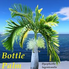 Bottle Palm Hyophorbe lagenicaulis 30 FRESH SEEDS u'll get BEST Seed from HAWAII
