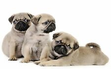 "Pug Puppies Canvas Print  A1 30"" x 20"""
