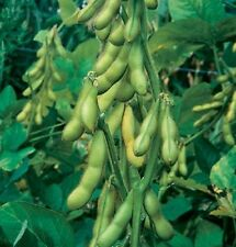 100 Butterbean,Soybean Seeds - Edible soybean,Organic NON-GMO ,untreated Seed