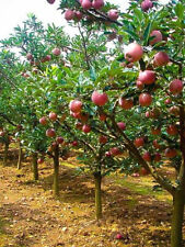 Apple Tree Seeds Sweet Delicious Fruit