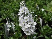 50+ PURE WHITE VERONICA (SPEEDWELL) PERENNIAL FLOWER SEEDS  GREAT CUT FLOWER