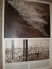 Photo article world's only flock greater snow geese Cap Tourmente Canada 1959