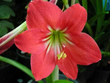 1 Bulb of HIPPEASTRUM EQUESTRE HERB Red Flower Plant + Phytosanitary Certificate