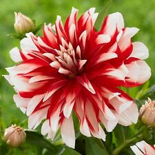 Pack x1 New Decorative Dahlia 'Catching Fire' WPC Prins Quality Bulb/Tuber