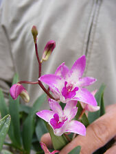 Australian Dendrobium Kingianum Orchid - Fragrant! Spotted Purple Flower ! -KS
