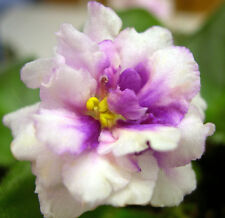 African violet plant LEAF leaves cutting BLOOMLOVER'S TWISTER