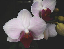 Miniature Phalaenopsis, Light Pink, orchid plant