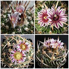 50 semi di Echinofossulocactus  hookeri ,piante grasse,seeds cactus