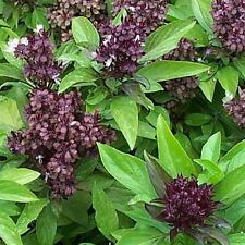 SIAM QUEEN BASIL SEEDS * SWEET & SPICY * VIGOROUS PLANT * 100 COUNT PKT.*