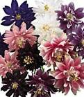 BARLOW SERIES COLUMBINE BEAUTIFUL COLORS TO CHOOSE FROM 25 SEEDS EXQUISITE BLOOM