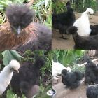 Chicken Hatching Eggs - SILKIE - Fertile - EGG DAYS NOW