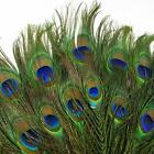 10pcs lots Real Natural Peacock Tail Eyes Feathers 8-12 Inches/about 23-30cm TRC