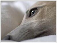 4 Dog Puppy Whippet puppies dogs Greeting Notecards/ Envelopes