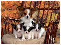 4 Set Papillon Dog Dogs Puppy Puppies Stationery Greeting Notecards / Envelopes