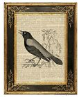 Crow Art Print on Antique Book Page Vintage Illustration Black White Birds