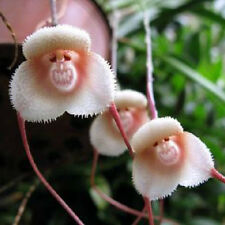 10/20/30PCS Rare Monkey Face Orchid Seeds Home Garden Beautiful Plant Flower