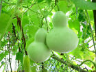 Gourd Seeds - CHINESE WATER JUG - Gourd Drying Instructions Included -10 Seeds