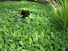 """2 LIVE WATER LETTUCE 3""""- 4"""" STRONG ROOTS / POND PLANTS"""