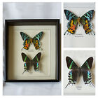 Real Ripheus & Leilus Butterfly Hand Set & Framed UK Beautiful Gift- Taxidermy