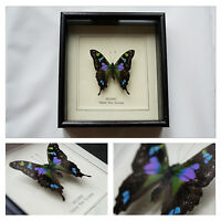 Real Weiskei Butterfly Hand Set and Framed In UK Beautiful Gift - Taxidermy