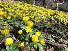 WINTER ACONITE BULBS, ERANTHIS HYEMALIS,Butter-cup like flowers,Low Growing !