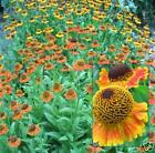 SNEEZEWEED * Helenium autumnale *RED & GOLD HYBRIDS * HARDY PERENNIAL * SEEDS
