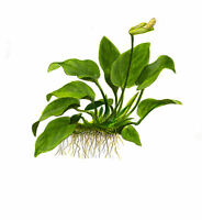 Midground Live Aquarium Plants Produced by Tropica / Best Quality / All species